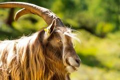 Halna Męska kózka - Włoscy Alps Fotografia Stock
