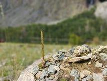 Halna roślina zdjęcie royalty free