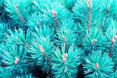 Halna sosna - błękit Karłowata sosna Fotografia Stock