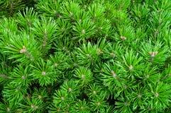 Halna sosna - naturalny zbliżenie widok Jaskrawy - zielona Karłowata sosna Obrazy Royalty Free