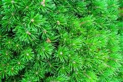 Halna sosna - naturalny zbliżenie widok Jaskrawy - zielona Karłowata sosna Obrazy Stock