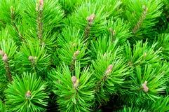 Halna sosna - naturalny zbliżenie widok Jaskrawy - zielona Karłowata sosna Fotografia Stock