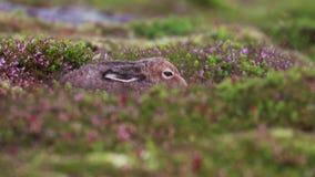 Halna zając, Lepus timidus, odpoczywać, chuje wśród lato purpurowego wrzosu na skłonie w cairngorm NP, Scotland zdjęcie wideo