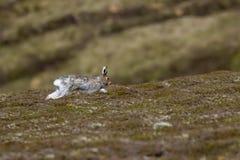 Halna zając, lepus timidus, siedzi na halnym skłonie w świetle słonecznym, cairngorms parki narodowi, Scotland fotografia royalty free