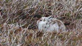 Halna zając, Lepus timidus, wiosna żakiet, wylenienie przeciw wrzosu obsiadaniu i bieg na górze w cairngorms parku narodowym, zbiory