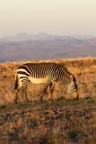 halna zebra Obrazy Stock