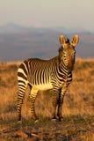 halna zebra Fotografia Stock