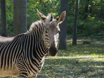 Halna zebra Zdjęcie Royalty Free