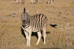 Halna zebra Obrazy Royalty Free