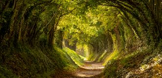 Halnaker tree tunnel in West Sussex UK photographed in autumn with sunlight shining through the branches.