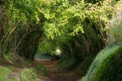 Halnaker tree tunnel in West Sussex UK with sunlight shining in through the branches. Chichester UK.