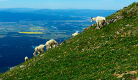 Halne kózki na zboczu góry zdjęcia royalty free