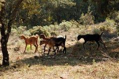 halne kozy Obrazy Stock