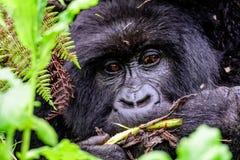 Halnego goryla podglądanie przez porośla Obrazy Royalty Free