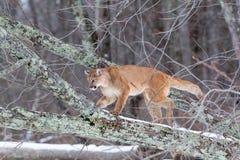 Halnego lwa pięcie w drzewie Obraz Stock