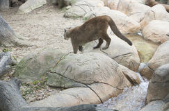Halnego lwa pumy concolor zdjęcie royalty free
