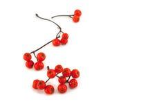 Halnego popiółu jagody na gałąź Fotografia Stock