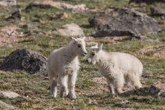 Halnej kózki dzieciaki w Alpejskim Zdjęcie Stock