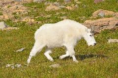Halnej kózki odprowadzenie Przez Alpejską łąkę Zdjęcie Royalty Free