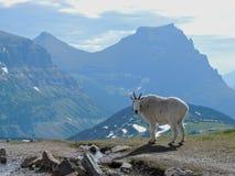 Halnej kózki oreamnos americanus przy słońce drogą Wzdłuż Wycieczkować ślad, przy Logan przepustki lodowa parka narodowego Montan Obraz Royalty Free