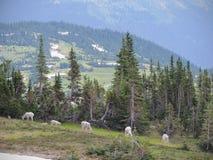 Halnej kózki oreamnos americanus przy słońce drogą Wzdłuż Wycieczkować ślad, przy Logan przepustki lodowa parka narodowego Montan Fotografia Stock