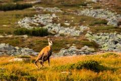 Halnej kózki pseudonimu Rupicapra Rupicapra Tatrica w Wysokim Tatras, Sistani Zdjęcie Stock