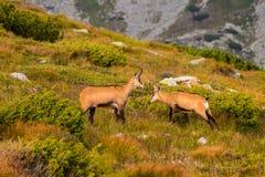 Halnej kózki pseudonimu Rupicapra Rupicapra Tatrica w Wysokim Tatras, Sistani Na sposobie bardzo sławny szczytowy Krivan z wzrost Zdjęcia Stock