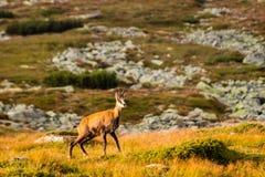 Halnej kózki pseudonimu Rupicapra Rupicapra Tatrica w Wysokim Tatras, Sistani Na sposobie bardzo sławny szczytowy Krivan z wzrost Fotografia Royalty Free
