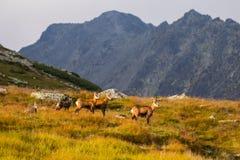 Halnej kózki pseudonimu Rupicapra Rupicapra Tatrica w Wysokim Tatras, Sistani Na sposobie bardzo sławny szczytowy Krivan z wzrost Zdjęcia Royalty Free