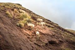 Halnej kózki rodzinna wspinaczkowa góra w Idaho Obraz Stock