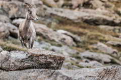 Halnej kózki skalistej góry Colorado krajobraz Fotografia Stock