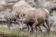 Halnej kózki skalistej góry Colorado krajobraz Zdjęcia Royalty Free
