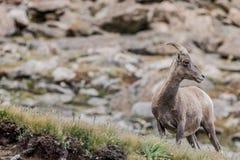 Halnej kózki skalistej góry Colorado przyroda Zdjęcia Royalty Free
