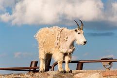 Halnej kózki stojak dumnie, wysokość w skalistych górach Zdjęcie Stock