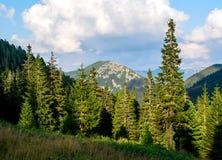 Halnej sosny las zdjęcie royalty free