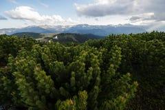 Halnej sosny rezerwa, Ciungii-Balasini rezerwa - Maramures, Rumunia zdjęcia royalty free