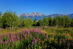 Halni dzicy kwiaty z uroczystym tetons pasmem górskim w plecy ziemi Obraz Royalty Free