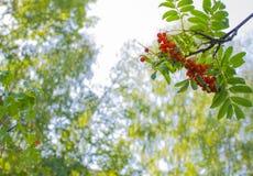 Halni popióły jagodowi Zdjęcia Royalty Free