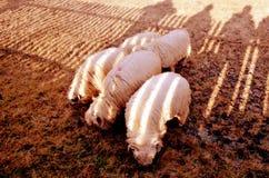Halni sheeps Obrazy Royalty Free