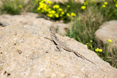 Halny agama wygrzewa się na skale na natura (Laudakia stellio) Fotografia Stock