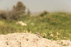 Halny agama wygrzewa się na skale na natura (Laudakia stellio) Zdjęcie Stock