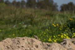 Halny agama wygrzewa się na skale na natura (Laudakia stellio) Zdjęcia Stock