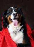 Halny bernese z czerwonym hoodie Zdjęcie Royalty Free