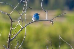 Halny bluebird zdjęcie stock