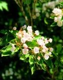 Halny bobek kwitnie kwitnienie Zdjęcia Royalty Free
