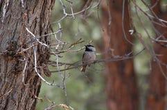 Halny Chickadee (Poecile gambeli) fotografia stock