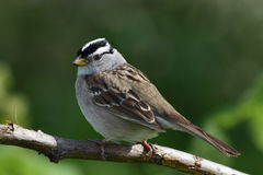 Halny Chickadee (Poecile gambeli) zdjęcie royalty free
