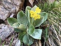 Halny cowslip Primula auricula, Auricula, niedźwiedzia ucho, Kostkowy Aurikel lub Alpenaurikel, fotografia stock