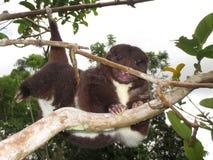 Halny cuscus pięcie Zdjęcia Stock