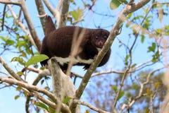 Halny cuscus używać chwytnego ogon wspinać się zdjęcie stock